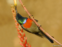 Greater Double-collared Sunbird (Martin_Heigan) Tags: camera winter flower bird nature digital southafrica succulent aloe nikon martin photograph d200 dslr gauteng pollination naturesfinest alwyn suidafrika pollinator supershot greaterdoublecollaredsunbird lutescens nikonstunninggallery heigan cinnyrisafra 70300mmf4556gvr firsttheearth 14july2007 grootrooibondsuikerbekkie wsnbg mhsetbirds mhsetaloes mhsetuntouched mhsetbokeh