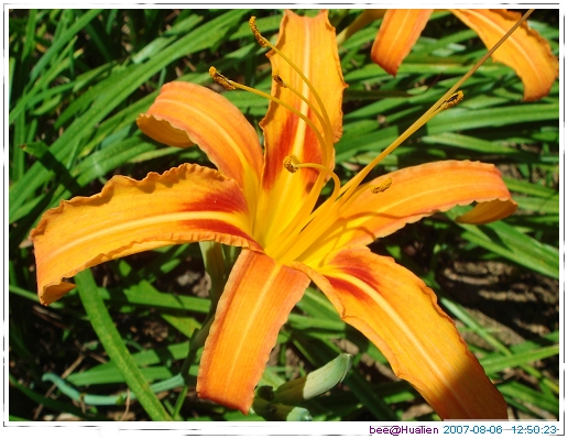 花蓮賞美麗的金針花在赤科山 (2)