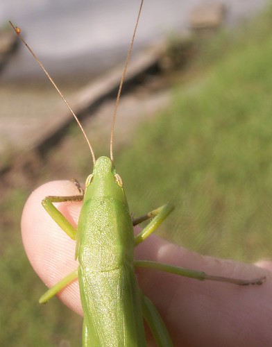Female Katydid 16