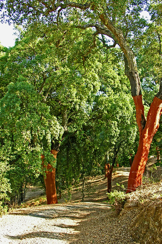 Cork oak trees