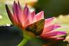 This is an image such as the lotus. (Giovanni88Ant) Tags: pink flower macro dof waterlily diamondclassphotographer lightstylus