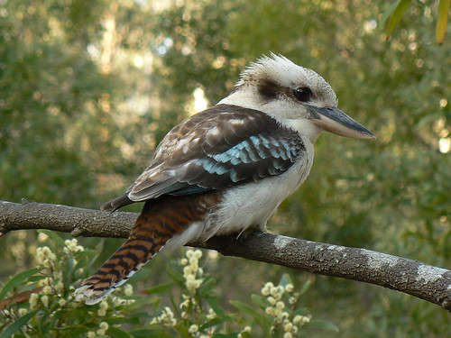 A Wild and Free Laughing Kookaburra