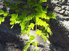 Beauty is Where You Find It (Lyle58) Tags: life shadow sunlight color green nature leaves concrete leaf shoot branch bricks vivid growth sunlit dazzling leaflets naturesfinest platinumphoto violatingruleofthirds