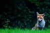 Foxing the Fox (Stephen J Kennedy) Tags: uk wildlife surrey fox urbanwildlife redfox vulpesvulpes