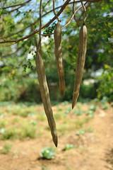 4a. Moringa tree seed pods, school garden