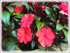 An orange-red variety of Impatiens walleriana (Touch-me-not, Jewel Weed, Sultana, Busy Lizzy/Lizzie)