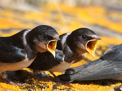 swallow feed (hedgehead2010) Tags: canon feeding norfolk young swallow cley 170500mm 40d blinkagain bestofblinkwinners