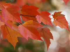 Maple Leaves (Shannonsong) Tags: autumn red tree fall leaves maple autumnleaves acer mapleleaves redmaple acerrubrum botony