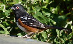The Party Goers (ebirdman) Tags: male spotted towhee spottedtowhee pipilomaculatus pipilo maculatus