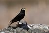 Run-run (Macho) (ik_kil) Tags: chile birds laserena runrun regióndecoquimbo hymenopsperspicillatus spectacledtyrant avesdechile hymenopsperspicillata runrún hymenopsperspicillataandina