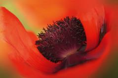 Lest we forget (Jacky Parker Photography) Tags: uk red flower macro closeup landscape one day single poppy bloom remembrance papaver floralessence horizontalorientation