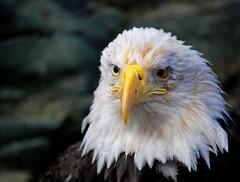 Spirit (andertho) Tags: alaska eagle spirit baldeagle save3 save8 juneau save9 save4 save6 savedbythedeltemeuncensoredgroup mountroberts juneauraptorcenter