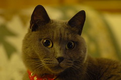 My adorable grey cat (kaycatt*) Tags: pet cats macro cat greycat naturesfinest tamron90 bluegreycat