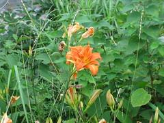 (mayfly jpn) Tags: flower japan july