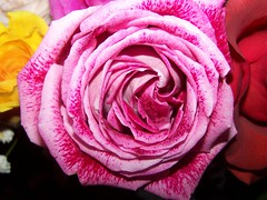 so pink (Little Grey) Tags: pink roses flores rose catchycolors flora brightcolors flowerpower floraandfauna thinkpink pinkflowers colorandcolors colormyworld pinkthink anyflower pinkalicious floweraddicts aroseaqueeninitself flowershare colorsclub bloomingbeauty awesomeflowers flowerez