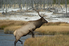 Elk leaving the river (socks57) Tags: animals wildlife yellowstone elk naturesfinest bachspicsgallery thegalleryoffinephotography