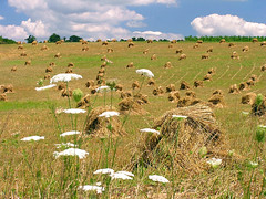 Queen Anne's Hay Field (CountryDreaming) Tags: flowers ohio summer sky flower field clouds searchthebest sunny amish haystacks haystack fields wildflowers hay wildflower soe queenanneslace amishcountry naturesfinest blueribbonwinner supershot instantfave mywinners shieldofexcellence