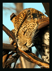 FROM MY LEOPARD SERIES....2007 BOTSWANA AFRICA (electra-cute) Tags: africa tree animal cat photo safari leopard botswana bfgreatesthits