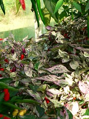 Variagated leaves with little purple chillis - by ramson