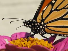 Monarch !