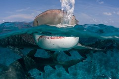 Lemon shark (WIlly Volk) Tags: shark dive scuba diving scubadiving sharks bahamas lemonshark