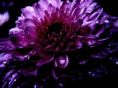 Dark flower (Miss Claeson) Tags: garden sweden dalar