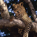 Leopard in Tree by Hetal Patel