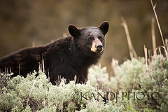 Black Bear (J*A*M*I) Tags: bear nature nationalpark montana wildlife yellowstone wyoming blackbear