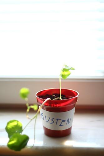 Gustens första plantering