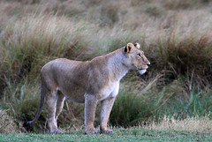 lioness... ('Carmen' {catching up!}) Tags: africa animal female cat canon fur dof kenya bokeh lion depthoffield safari bigcat grasses savannah predator wildcat lioness regal bornfree masaimara intherain wetfur eos7d