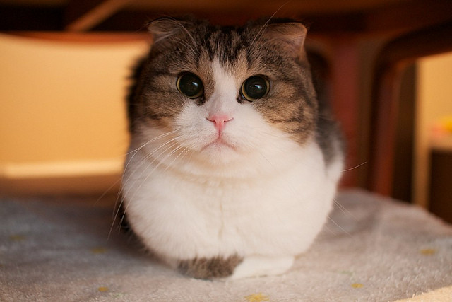 cute scottish fold kitten cat
