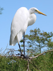 Great Egret (Derek Licek's Photography) Tags: bird zoo orlando florida great egret gatorland allnaturesparadise