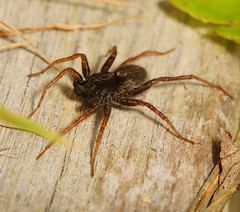 """Male Wolf Spider (Pardosa sp.) • <a style=""""font-size:0.8em;"""" href=""""http://www.flickr.com/photos/57024565@N00/598272245/"""" target=""""_blank"""">View on Flickr</a>"""