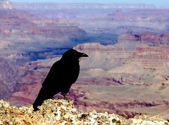 Raven perched above Tanner Trail at Lipan Point (Al_HikesAZ) Tags: park camping arizona topf25 fauna landscape ilovenature nationalpark 500v20f hiking grandcanyon grand canyon hike nativeamerican national backpacking 50100fav sacred navajo spiritual raven legend coolest birdseyeview myth hopi hikes inthecanyon  grandcanyonnationalpark corvuscorax coloradoplateau corvidae tannertrail lipanpoint gcnp 1500v60f 1000v40f awesomenature specland 50fave  123fav 25faves 250v10f beautifulcapture outdoorbeauty unature gc2007 unaturefav alhikesaz angwusnasomtaqa crowmother motherofallkatsinas gaagii discussionthread   25favesdiscussionthread belowtherim 50favesdiscussionthread