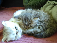 Nap 2 (catherine.caf) Tags: cat persian kitten chat chaton persan cc100 bestofcats