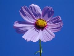 august 470 (jeri leandera) Tags: blue flower purple cosmo onblue inthesky purpleandblue masterphotos