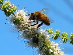honey bee in action!