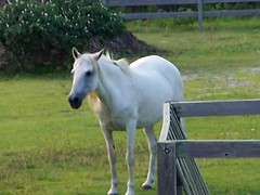 White Wild Pony of Ocracoke Island - by PLCjr