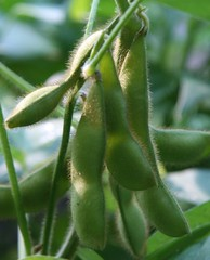 soybeans 6