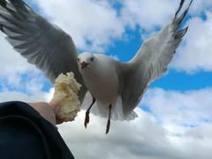 Rotorua, Bay of Plenty, North Island, New Zealand (Sandy Austin) Tags: newzealand birds closeup rotorua seagull northisland bayofplenty panasoniclumixdmcfz5 sandyaustin