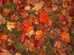 Wet Autumn (Stanley Zimny (Thank You for 13 Million views)) Tags: autumn red color fall nature wet colors leaves carpet leaf maple