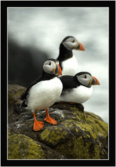 Three Cool Puffins (Magdalen Green Photography) Tags: nature ilovenature scotland three cool rocks dundee scottish puffin puffins isleofmay rspb royalsocietyfortheprotectionofbirds onlyyourbestshots