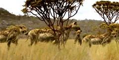 06 females take cubs away