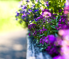 On the border. (Kala_M) Tags: light color dof bokeh kalam alyssum amatterofhowyouseeit