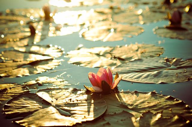 173:365 light lilypads lake