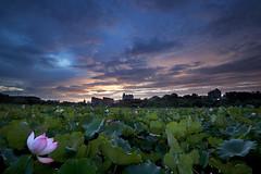 Morning Colours (Claire Chao) Tags: pink flower green sunrise dawn twilight flora lotus blossom taiwan 台灣 greenleaf 荷花 日出 安康農場 canoneos5dmarkii ntuankangfarm