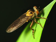 Robber Fly Day Friday (zxgirl) Tags: alexandria bug insect virginia fly flash insects bugs va perch flies robberfly perched arthropods arthropoda s5 huntleymeadows arthropod diptera insecta robberflies dcr250 raynox img7219 brachycera orthorrhapha asiloidea asilida