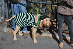 Beatnik (thoth1618) Tags: nyc newyorkcity costumes dog pet pets ny newyork halloween animal animals brooklyn costume october brooklynheights brooklynheightspromenade parade promenade gothamist halloweenparade 2010 howloween brooklynpromenade brooklynny dogparade dogcostumes dogcostume dogincostume brooklynusa muttsquerade petsincostume dogincostumes brooklynheightsblog 103010 petincostume animalsincostumes animalincostume halloween2010 october302010 perfectpawsinc the8thannualhowloweenmuttsqueradeparade