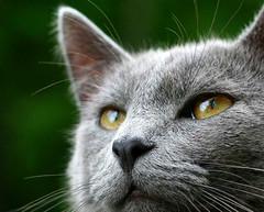 thinking (Boered) Tags: cat nose eyes thinking jinx cc200 bestofcats boc0607