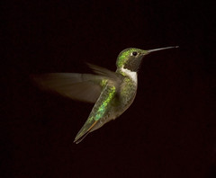 Broad-tailed Hummingbird (Alice Grey) Tags: usa green bird rockies nikon colorado hummingbird d200 cachelapoudreriver poudre onblack broadtailedhummingbird selasphorusplatycercus stateforeststatepark
